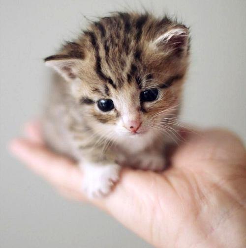 Осторожно, котенок в доме! Начало воспитания