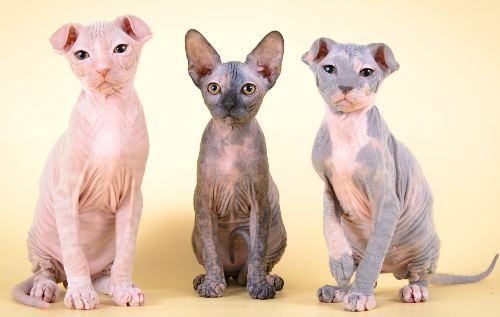 Самые распространенные породы лысых кошек