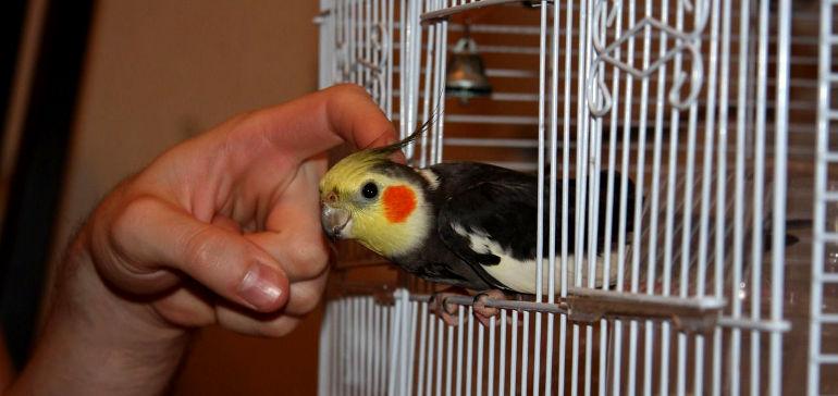 Как выбрать австралийского попугая кареллу?