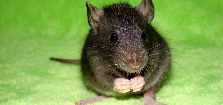 Как дрессировать крысу?