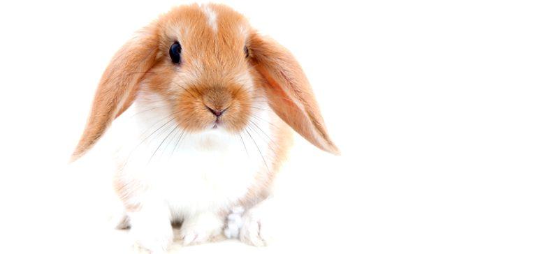 Как приручить кролика?