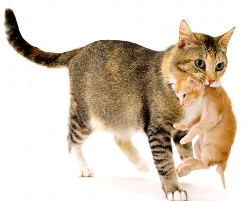 кошка тащик котёнка