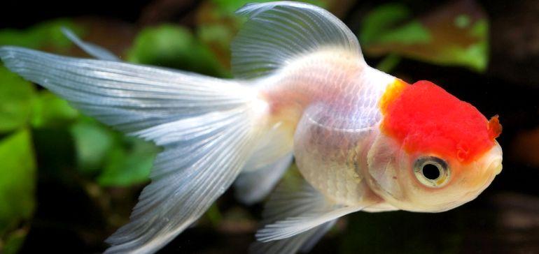 Как ухаживать за Золотой рыбкой Оранда