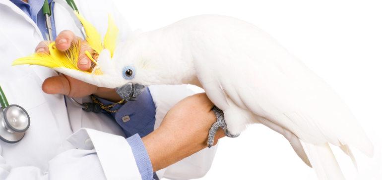 Самоощипование перьев у попугаев: зачем это?