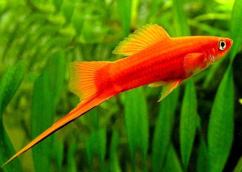 Рыбки пецилии: виды, содержание и уход