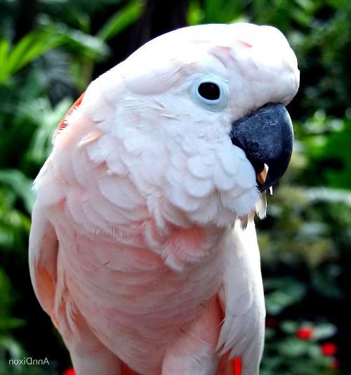 Что за птица какаду?