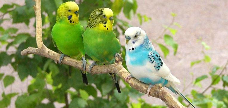 Чистка клеток у волнистых попугаев