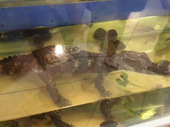 В Тюменском зоопарке самка аллигатора дружит с черепашками