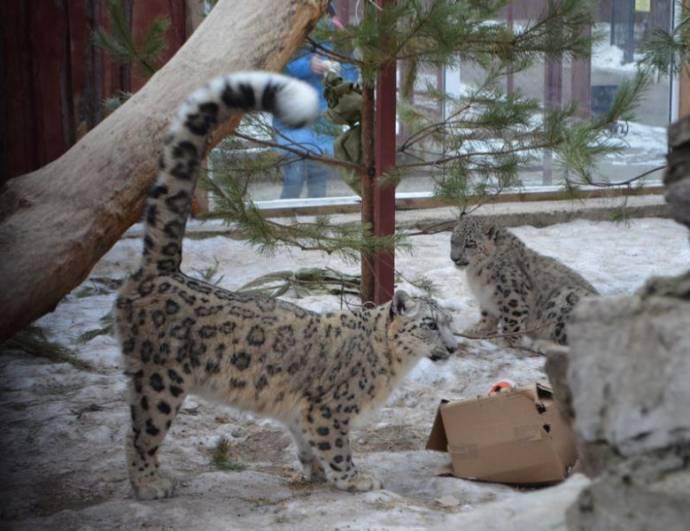 В Пермском зоопарке родились три детеныша снежного барса