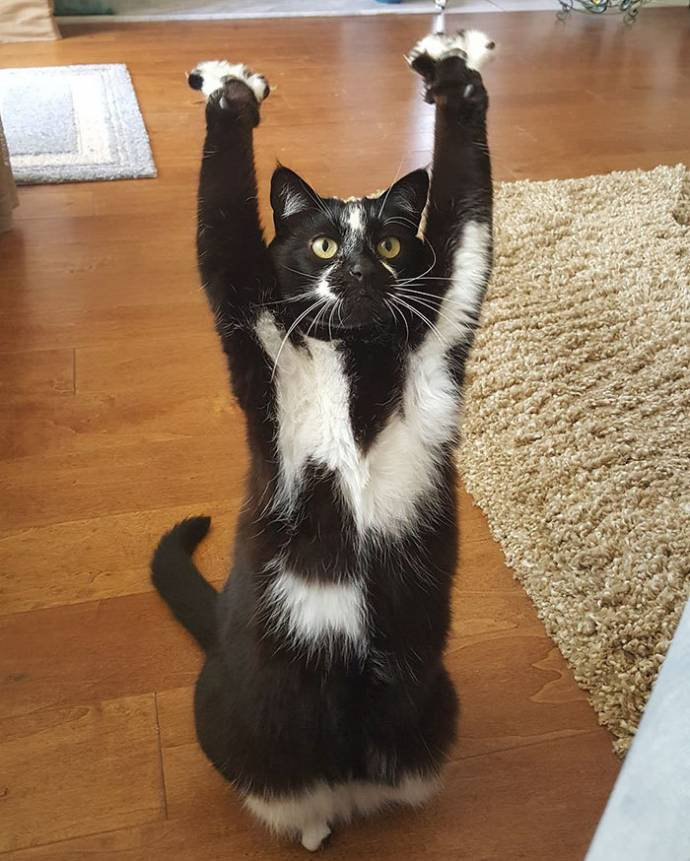 В интернете новая звезда - кошка, которая вскидывает лапы вверх
