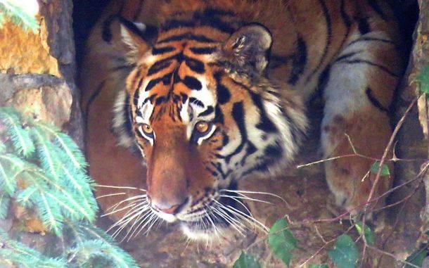 В Московский зоопарк на два месяца привезли нового амурского тигра