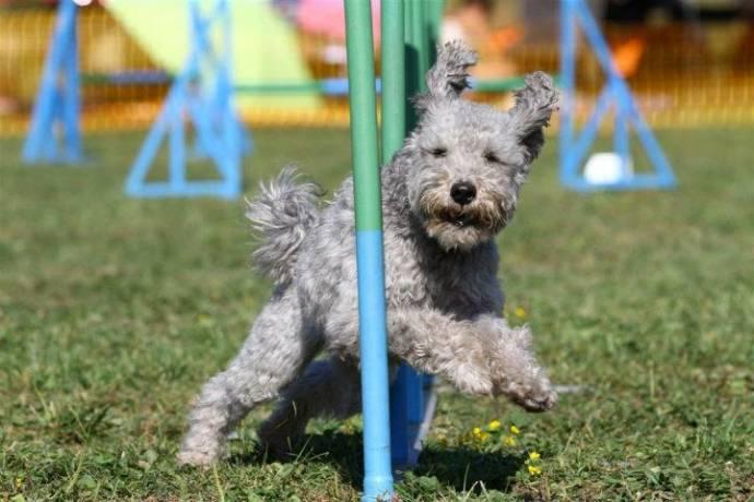 В США официально признали новую породу собак - пуми