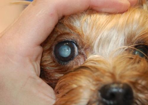 Сахарный диабет у собаки - симптомы: катаракта