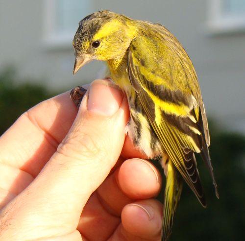 Содержание в домашних условиях птички чижика