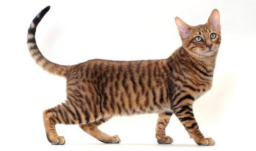 ТОП-10 самых дорогих пород кошек