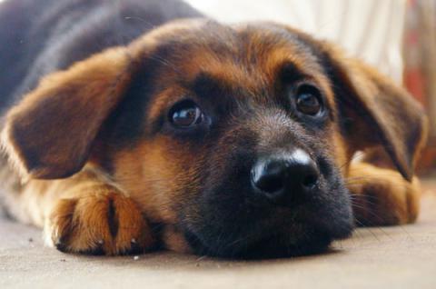 Главным врагом домашних собак является сырое мясо