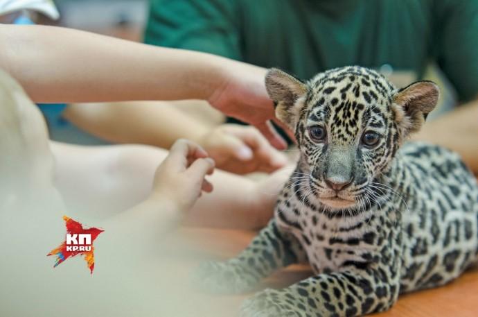 Самарский зоопарк представил публике детеныша ягуара