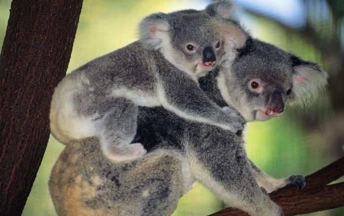 Коалы и другие животные в Австралии научились пользоваться специальными переходами через дорогу