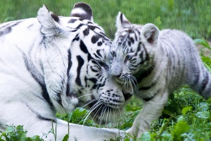 Фото прогулки белого тигренка из Новосибирского зоопарка