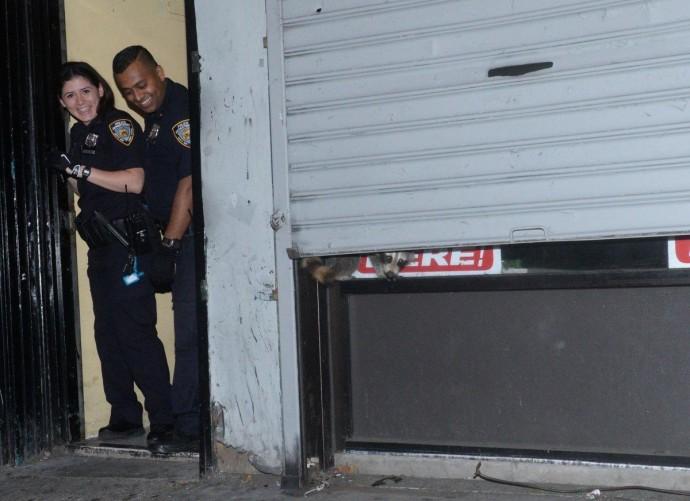 В США полицейские спасли енота, застрявшего между воротами и дверью