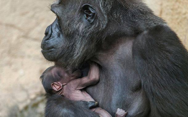 В Московском зоопарке объявили о рождении детеныша гориллы
