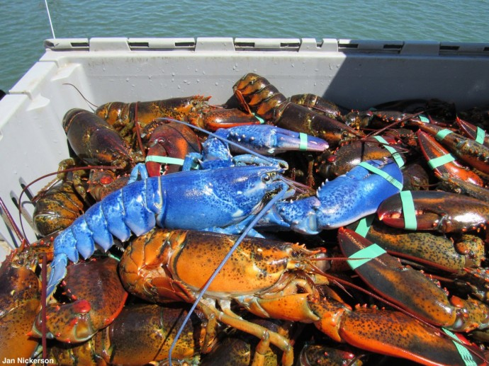 В США обнаружен редкий синий омар