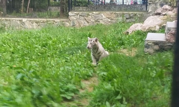 В Новосибирском зоопарке показали белого тигренка