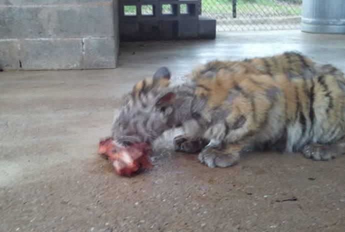 Чудесное восстановление спасенной замученной тигрицы Ааши