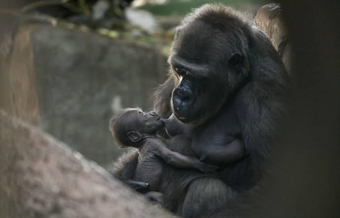 Детеныша гориллы из Московского зоопарка представили публике