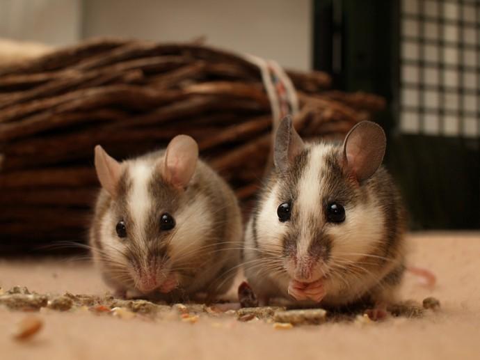 Мастомис или натальская мышь