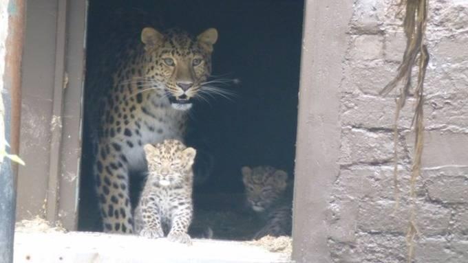 В британском зоопарке родились два дальневосточных леопарда