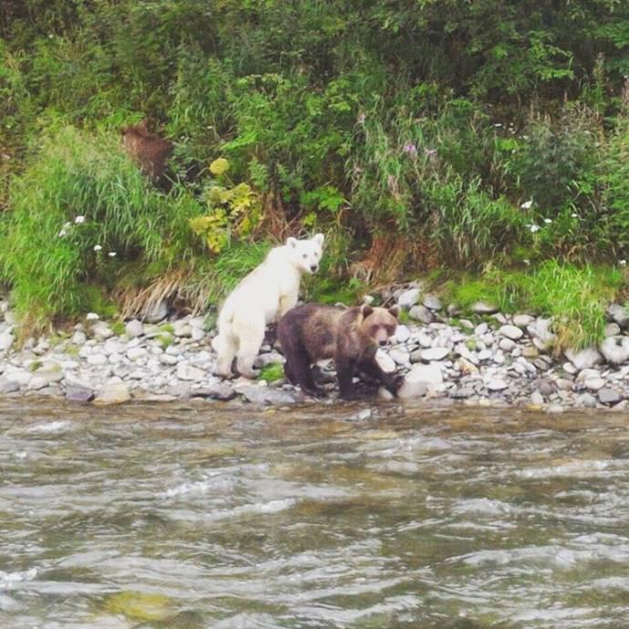 На Камчатке засняли медведя с почти белой шерстью
