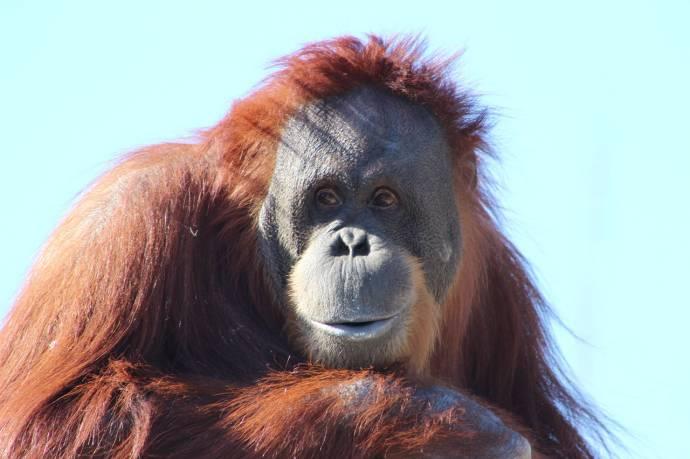 Орангутан оказался способен издавать новые звуки, подражая тону человека