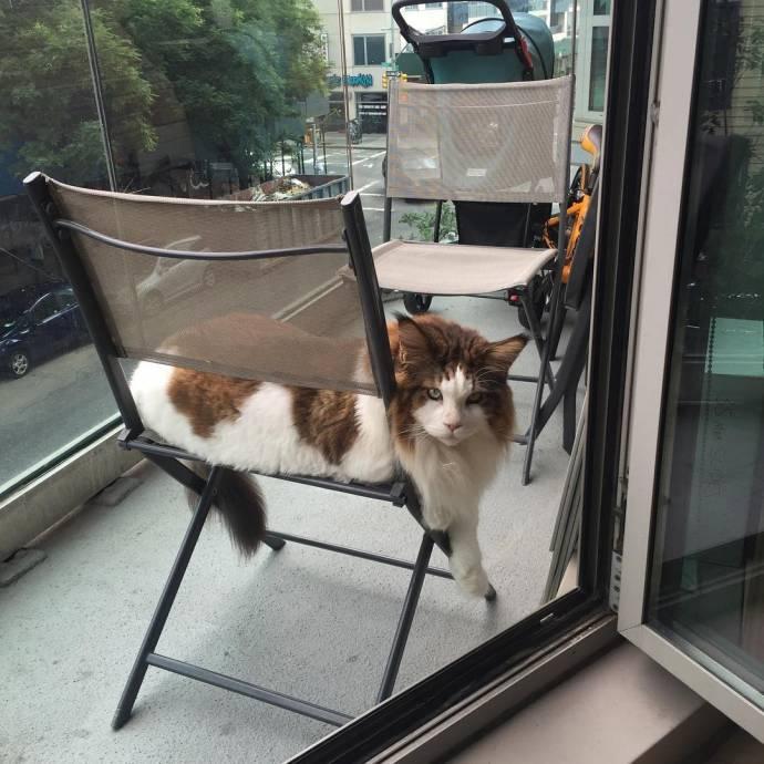 13-килограммовый Самсон - самый крупный кот Нью-Йорка
