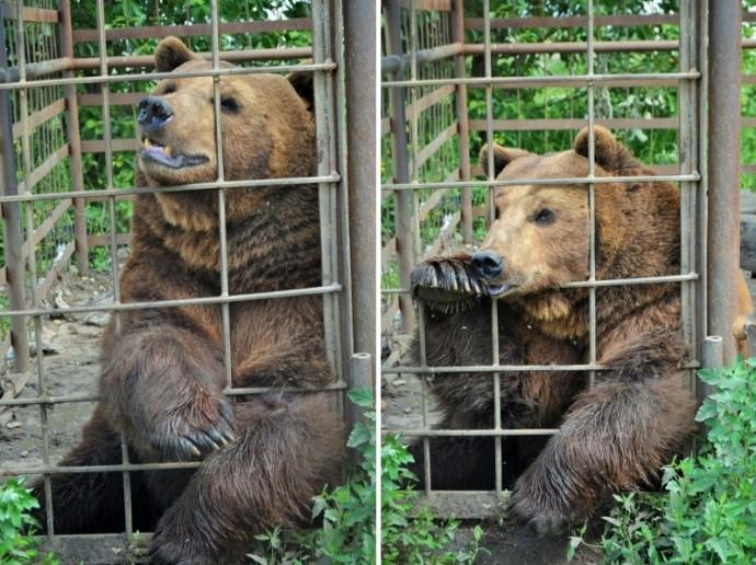 Медведь Андрюша из клетки у кафе переедет в эко-парк «Зюраткуль»