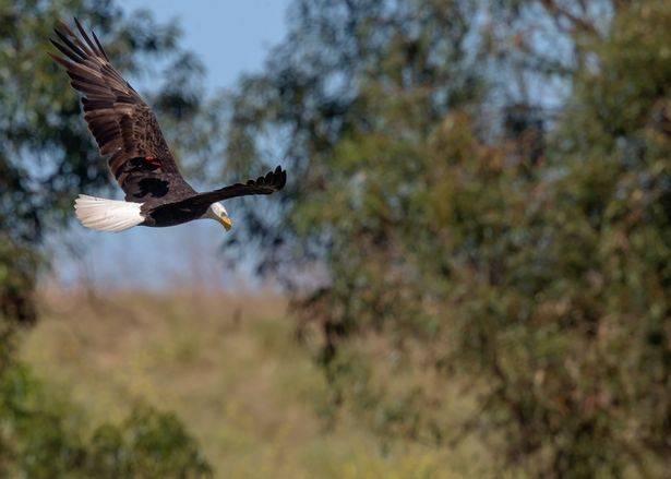 В США дрозд прокатился на спине белоголового орлана