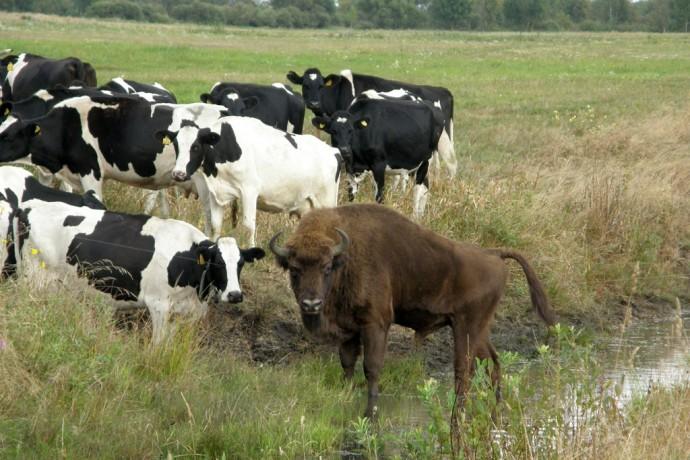 В Белоруссии зубр сбежал из заповедника и теперь живет в стаде коров